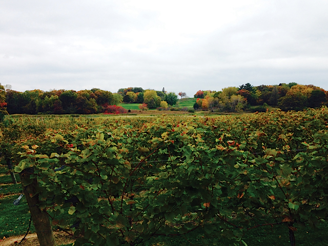 Fall colors at 7 Vines Vineyard in Dellwood. Photo courtesy of the Minnesota Grape Growers Association