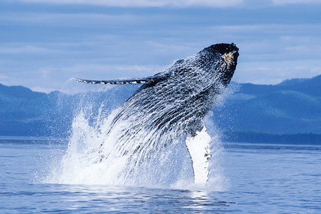 Omnifest Humpback Whales. Photo courtesy of John Hyde and Pacific Stock