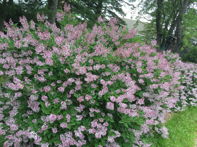 The-Lilac-Lovefest-is-designed-to-demonstrate-the-strength-of-lilac-season-in-Twin-Ports,-Duluth,-and-Superior_Photo-courtesy-of-TwinPorts.com