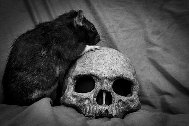 bigstock-Pet-Rat-Playing